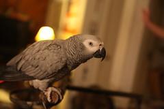 cockatoo(0.0), animal(1.0), parrot(1.0), pet(1.0), fauna(1.0), parakeet(1.0), close-up(1.0), common pet parakeet(1.0), beak(1.0), african grey(1.0), bird(1.0),