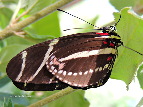 Zebra Longwing tongue curled
