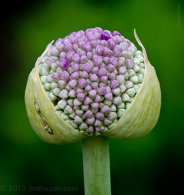 Giant Onion - Allium giganteum