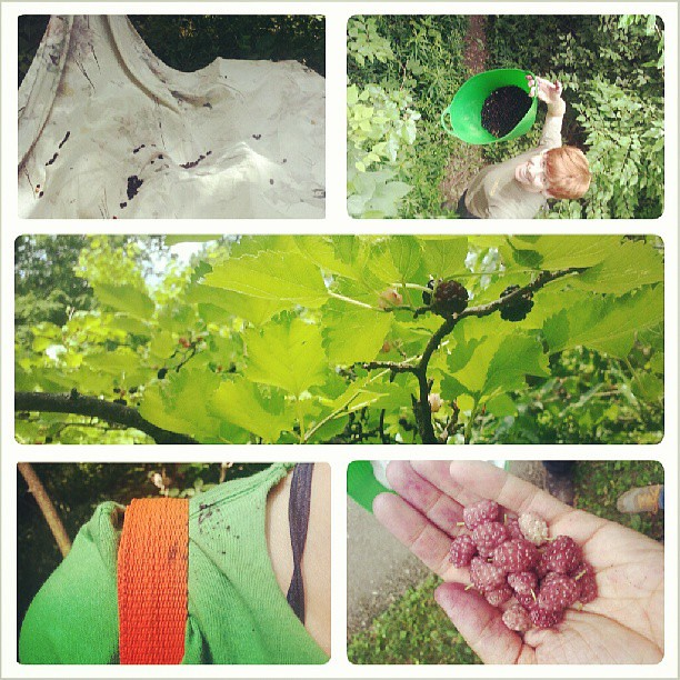 Mulberry picking tutorial.