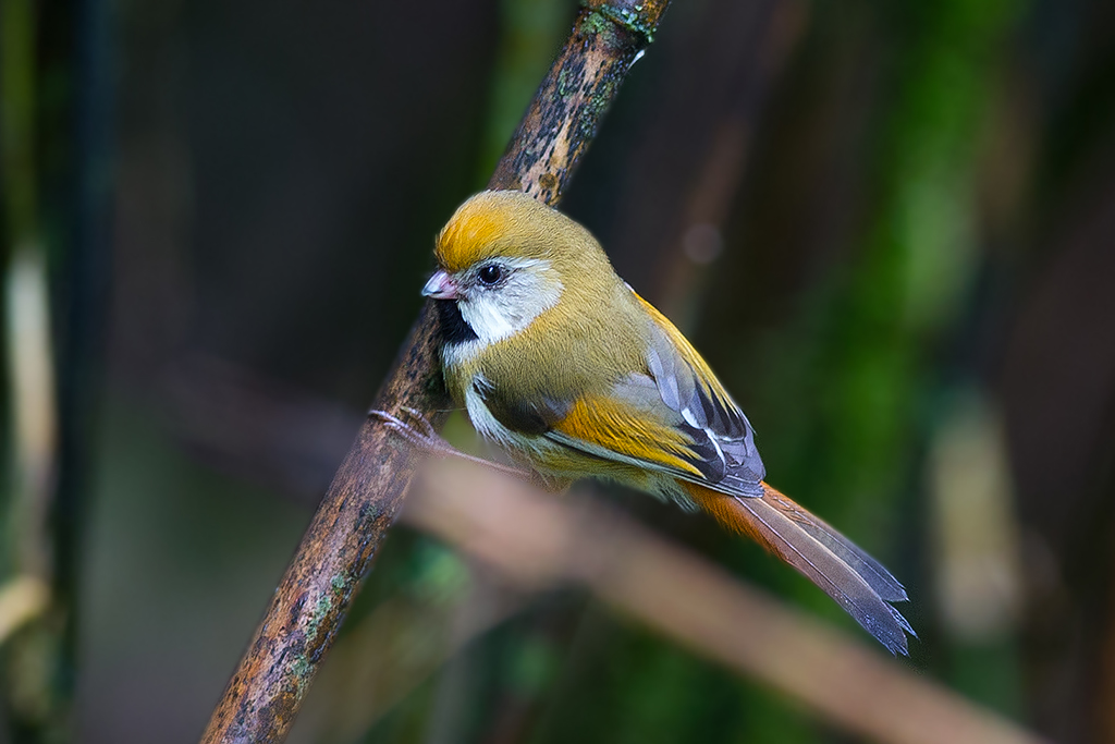 黃羽鸚嘴-4189