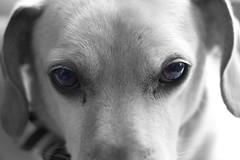 dog breed, animal, hound, dog, pet, mammal, weimaraner, close-up, black-and-white,