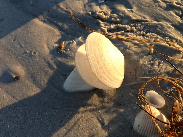Sanibel Seashell