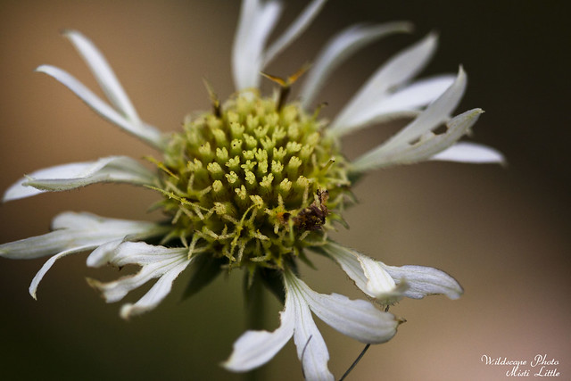 whitefirewheel