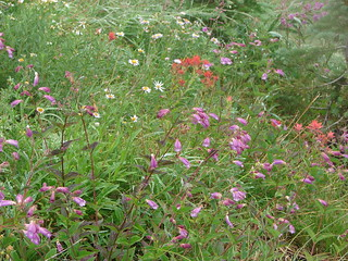 Aster, penstemon and paintbrush