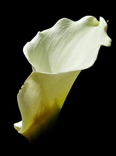 Arum Lily *Explore 18 - 9/9*