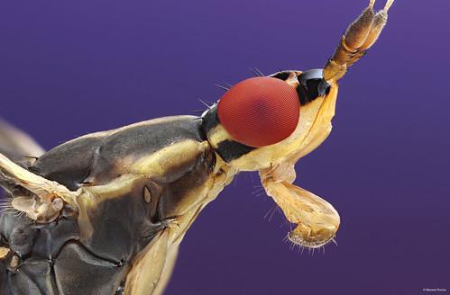 Banana stalk fly (mosca do pedúnculo da banana)