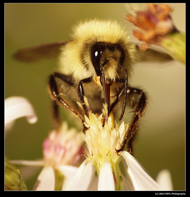 Blonde Bumble bee (Bombus sp.)