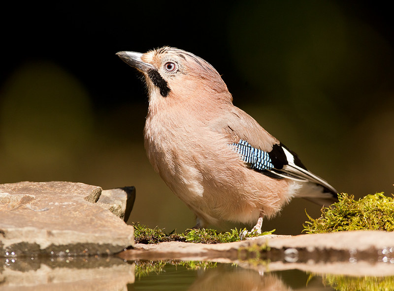 Common Jay