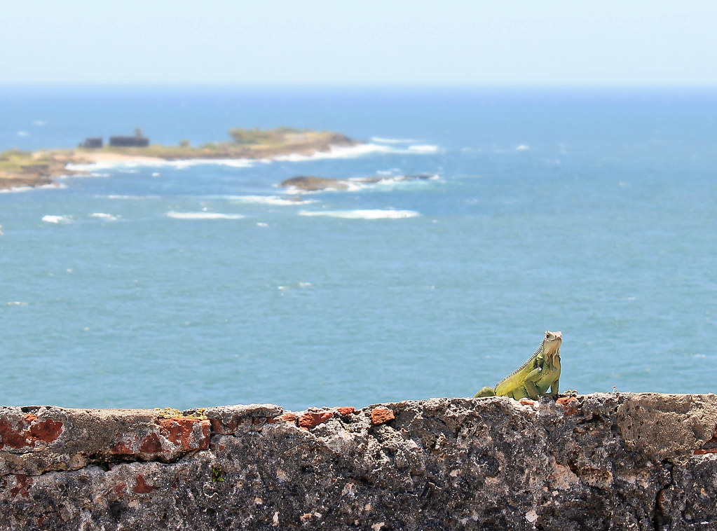 Iguana on El Morro