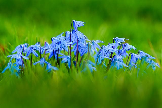 Spring Beauty (Scilla Siberic)