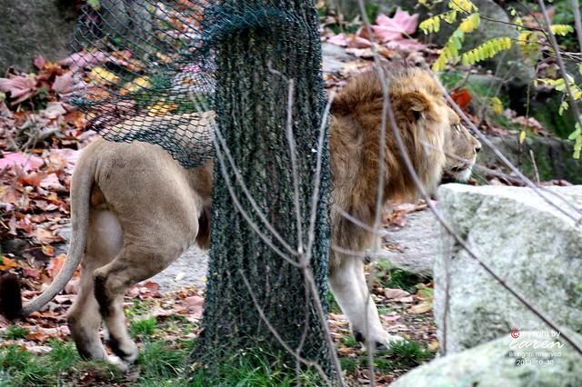 Afrikanischer Löwe Bandele 2013_10_30 303