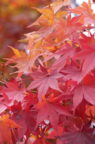 Acer palmatum 2