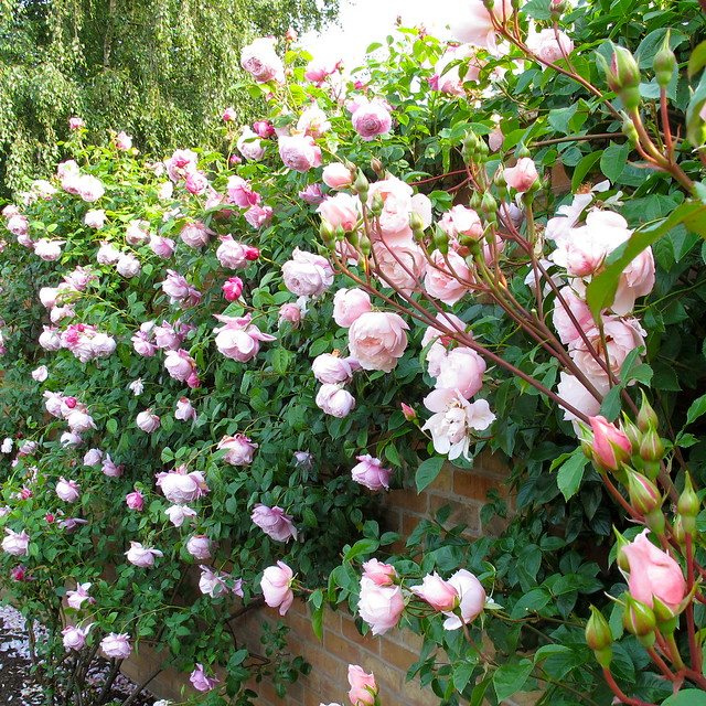 Pink English Climbing Roses Flickr Photo Sharing