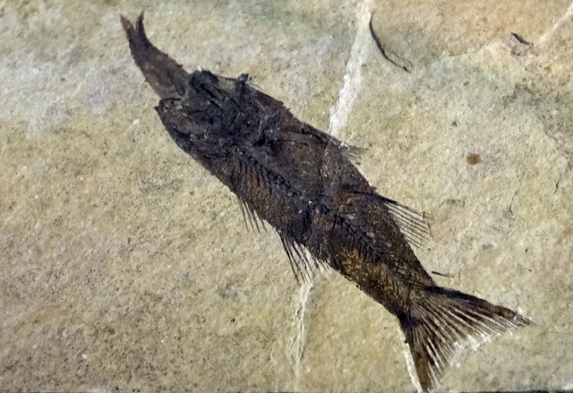 fish-eating-fish-fossil