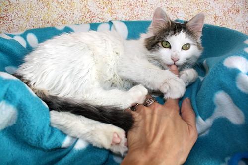 Neus, gata blanca cruce Van Turco pelo largo nacida en Julio´13 en adopción. Valencia. ADOPTADA. 12027909155_1f0825d81b