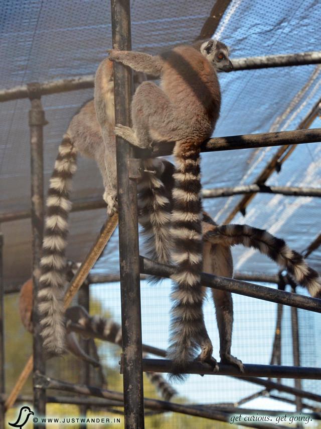 PIC: Ring-Tailed Lemur Feeding at Giraffe Ranch