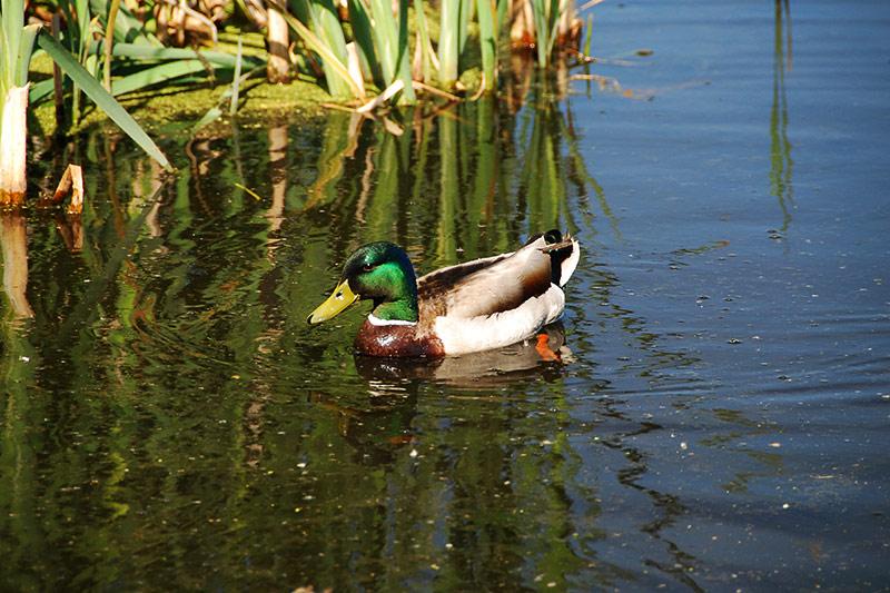 Mallard Duck in Rithet's Bog Conservation Area, Saanich, Victoria, Vancouver Island, British Columbia, Canada