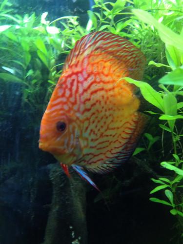5 discus fish including breeding pair tropical aquarium ebay for Discus fish for sale near me