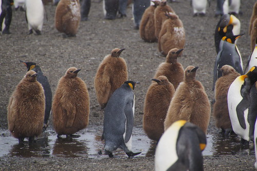 525 Koningspinguins