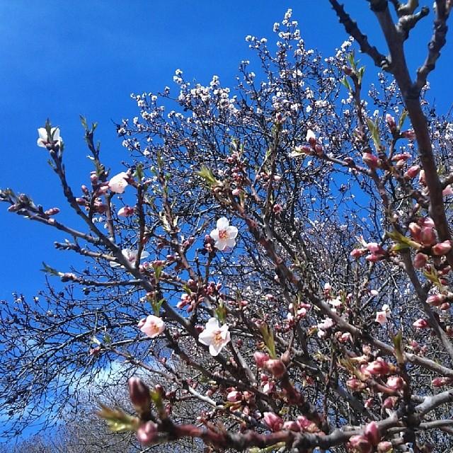 Нет, я не была на заморском курорте и даже не смоталась в Севаст или Ялту.  В Симферополе сегодня было неоднократно замечено цветение деревьев. Она пришла!:)
