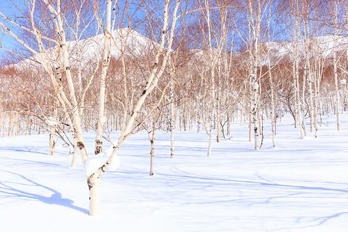 travel snow tree japan hokkaido birch niseko