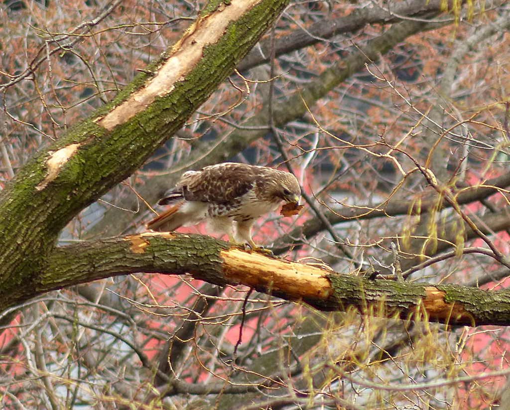 Male red tail rips bark from tree in Tompins Square