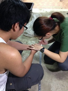 研究人員為赤尾青竹絲植入晶片。