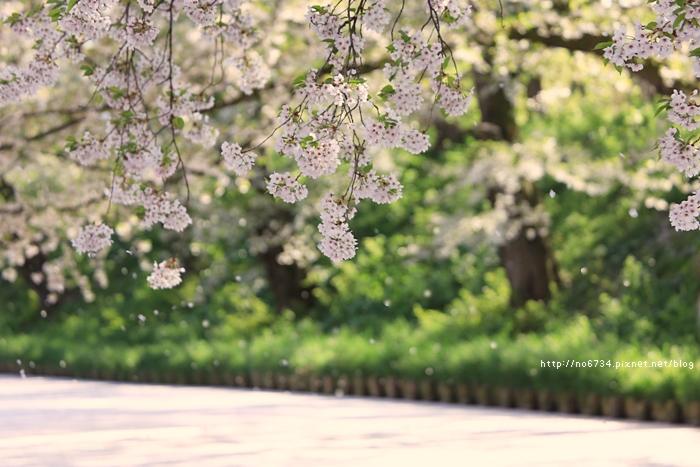 20140502_AomoriSakura_2280 ff