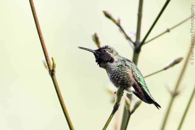 Anna's Hummingbird singing