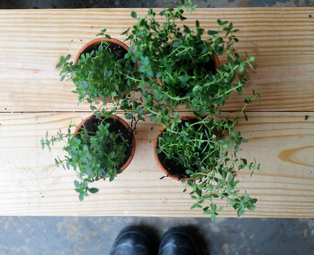 Lemon-Thyme plants ready for May Day Baskets