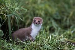 animal(1.0), weasel(1.0), grass(1.0), mustelidae(1.0), mammal(1.0), fauna(1.0), marten(1.0), polecat(1.0), mink(1.0), wildlife(1.0), ferret(1.0),