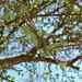 Small photo of Y-thorned Torchwood (Balanites maughamii)