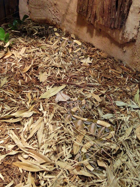 Gaboon Viper Camouflage