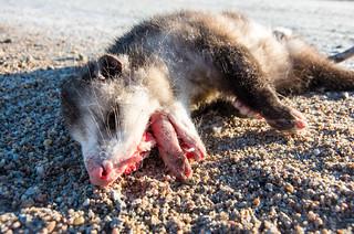 Poor Poor Possum