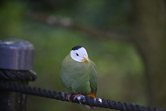 BLACK- NAPED FRUIT DOVE