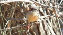 pyrrhuloxia (desert cardinal) female