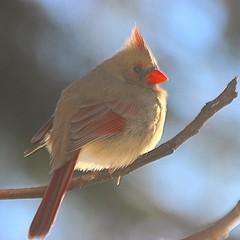 animal, wing, fauna, finch, cardinal, emberizidae, beak, bird,