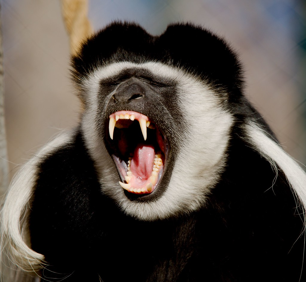 Black-and-white colobus_5