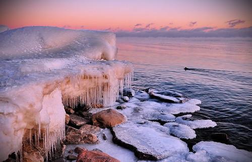 winter sunset mist snow ontario canada cold ice animal landscape peace waterfront shore ajax merganser femalehoodedmerganser azimaging