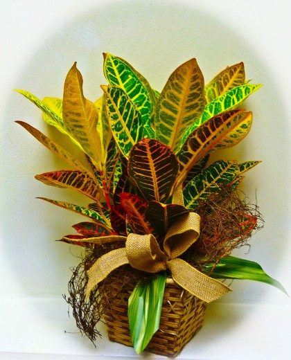 "#01 $45/ 6"" pot $75/  8"" pot Croton Plant with rustic ribbon treatment."