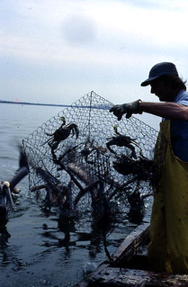 Pulling stone crabs out of the crab pot - Tampa