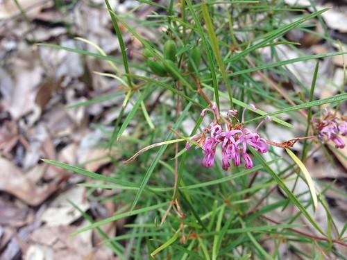 Small flowered Grevillea (Grevillea parviflora), Werekata National Park