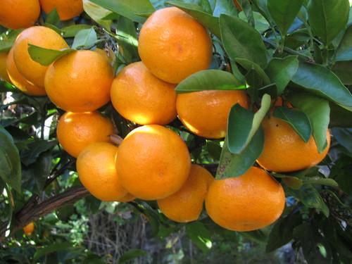 Japanese Orange