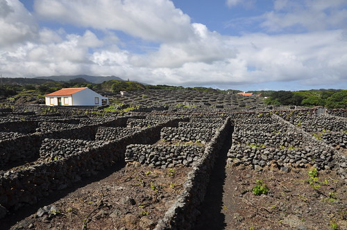 Biscoitos (Isla Terceira-Azores). Viñedos