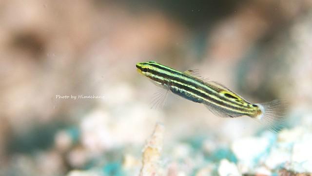 キンセンハゼ幼魚♪