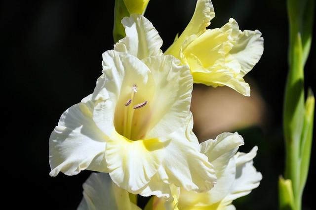 Tomar - white flower