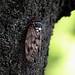 cicada by karmadekarmade