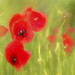 Summer Solstice - Poppies by suzanne.gibson