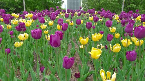 laker tulips